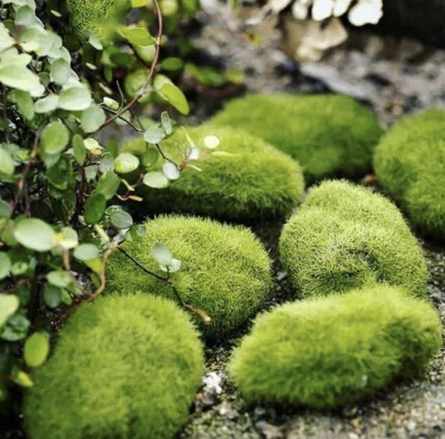 Green Wall - Moss Ball