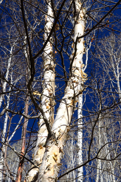 2 birch trees standing tall against blue sky - Shel Neufeld Wildart Photography
