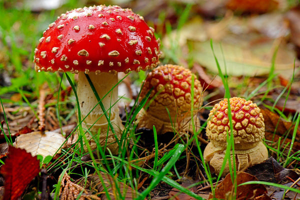 3 Red Amanita in the wild photography print available on several sizes by Shel Neufeld