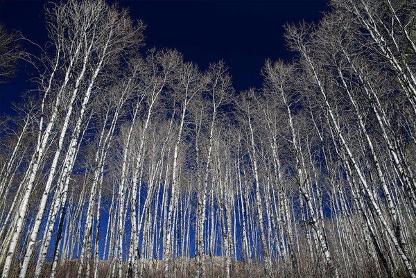 White Aspen Tree Forest Fine Art Photography Print by Shel Neufeld of WildArt Photography