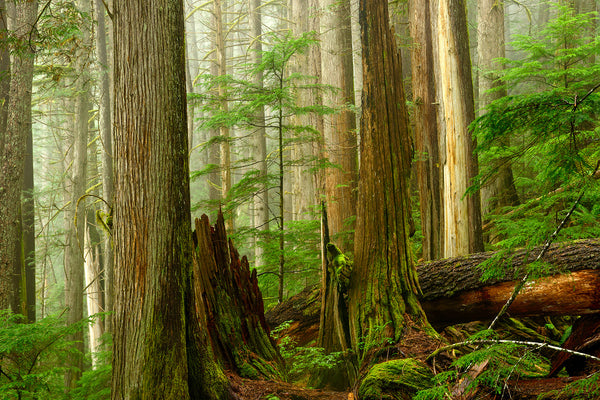 Old Growth Ancient British Columbia Forest by Canadian landscape Photographer Shel Neufeld of WildArt Photography