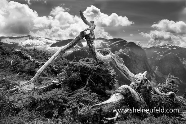 Banzai Tree Above The Daniels Valley, Black and White Photograph, Available in many sizes, on HD Aluminum Metal or Gallery Wrapped Canvas.  This photo is taken above the Daniels Valley, Mountaineering alpine destination.  British Columbia Coast Range. Excellent feature piece for a Living Room