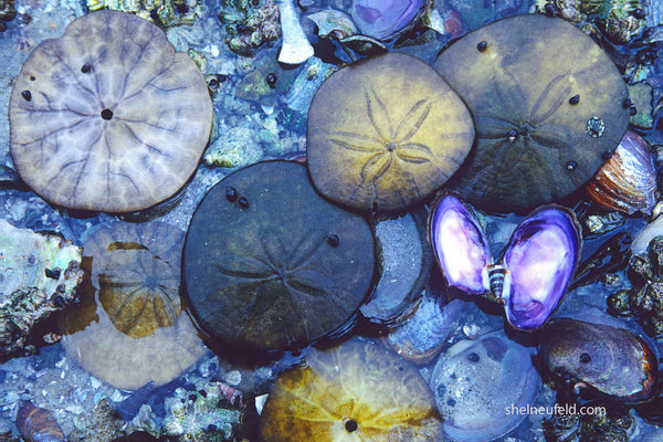 Currency of the Coast - Sand dollar bathroom decor photography print by Shel Neufeld