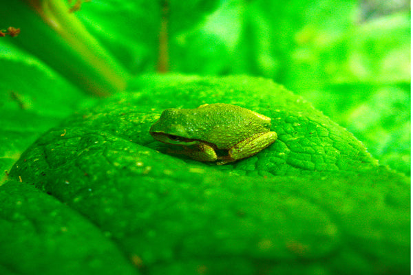 Green Pacific Tree Frog in the Garden - Macro Photography by Shel Neufeld of WildArt Photography