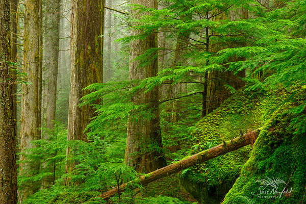 Lush Green Old Growth Forest on Pacific North West Coast, BC Canada - Photography by Shel Neufeld