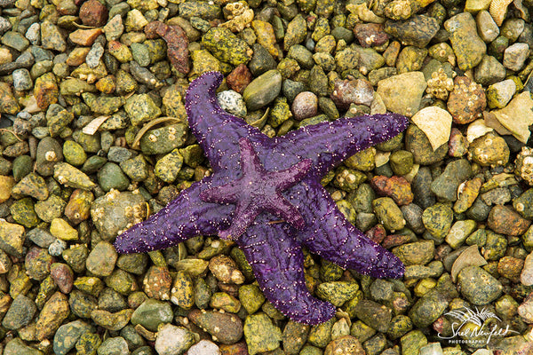 Purple Starfish Mama and starfish baby - Photograph captured by Shel Neufeld - Available as a Print, Fine Art Photography Wall Art