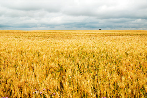 Canadian golden prairie landscape photograph print by Shel Neufeld - Canvas Wall Art Gift for Farmer