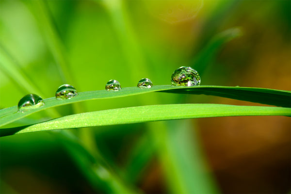 Macro Photography Lush Green Leaf with Water Droplets Print by Shel Neufeld