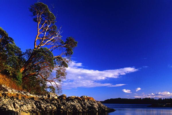 Stellar sky and arbutus tree on the edge, near Fulford Harbour, Salt Spring Island, BC, Canada. Nature Photograph by Shel Neufeld of WildArt Photography