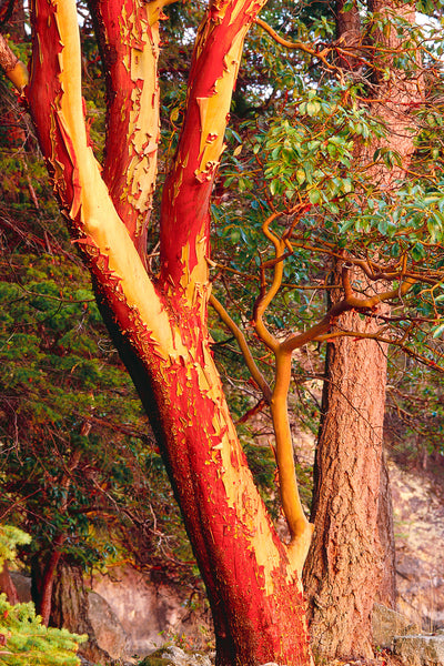 Arbutus Tree Vertical Canvas Print Nature Photograph by Shel Neufeld of WildArt Photography
