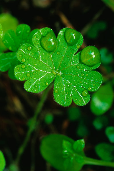 Morning Dew on Clover Macro Photography - Nature Vertical Home Decor by Shel Neufeld