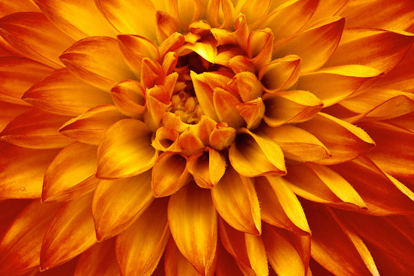 Macro Photography Honeymoon Flower - Orange and yellow nature wall art by Shel Neufeld
