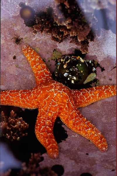 Orange Starfish, Botanical Beach, Vancouver Island, BC by Shel Neufeld Wildart Photography