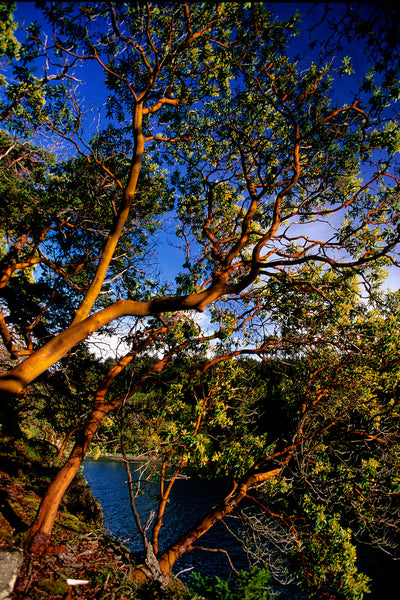Arbutus Trees Pacific Northwest Vertical Home Decor by Shel Neufeld