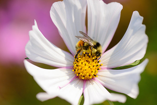 Close-up Honeybee on white flower macro photography by nature photographer Shel Neufeld