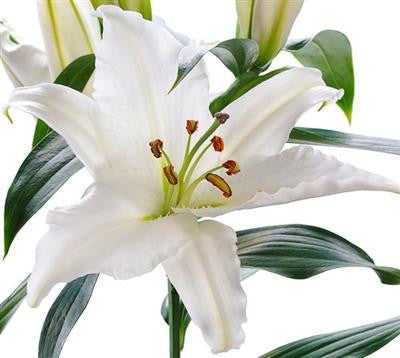 Oriental Lilies White - BloomsyShop.com