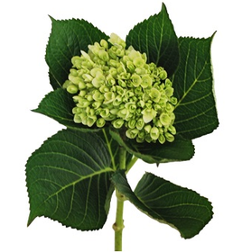 Hydrangeas Mini Green - BloomsyShop.com