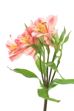 Alstroemeria Light Pink - BloomsyShop.com