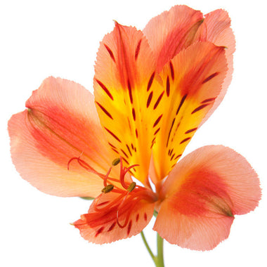 Alstroemeria Orange - BloomsyShop.com