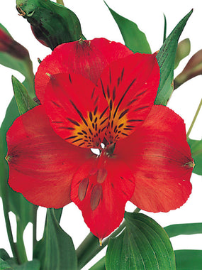 Alstroemeria Red - BloomsyShop.com