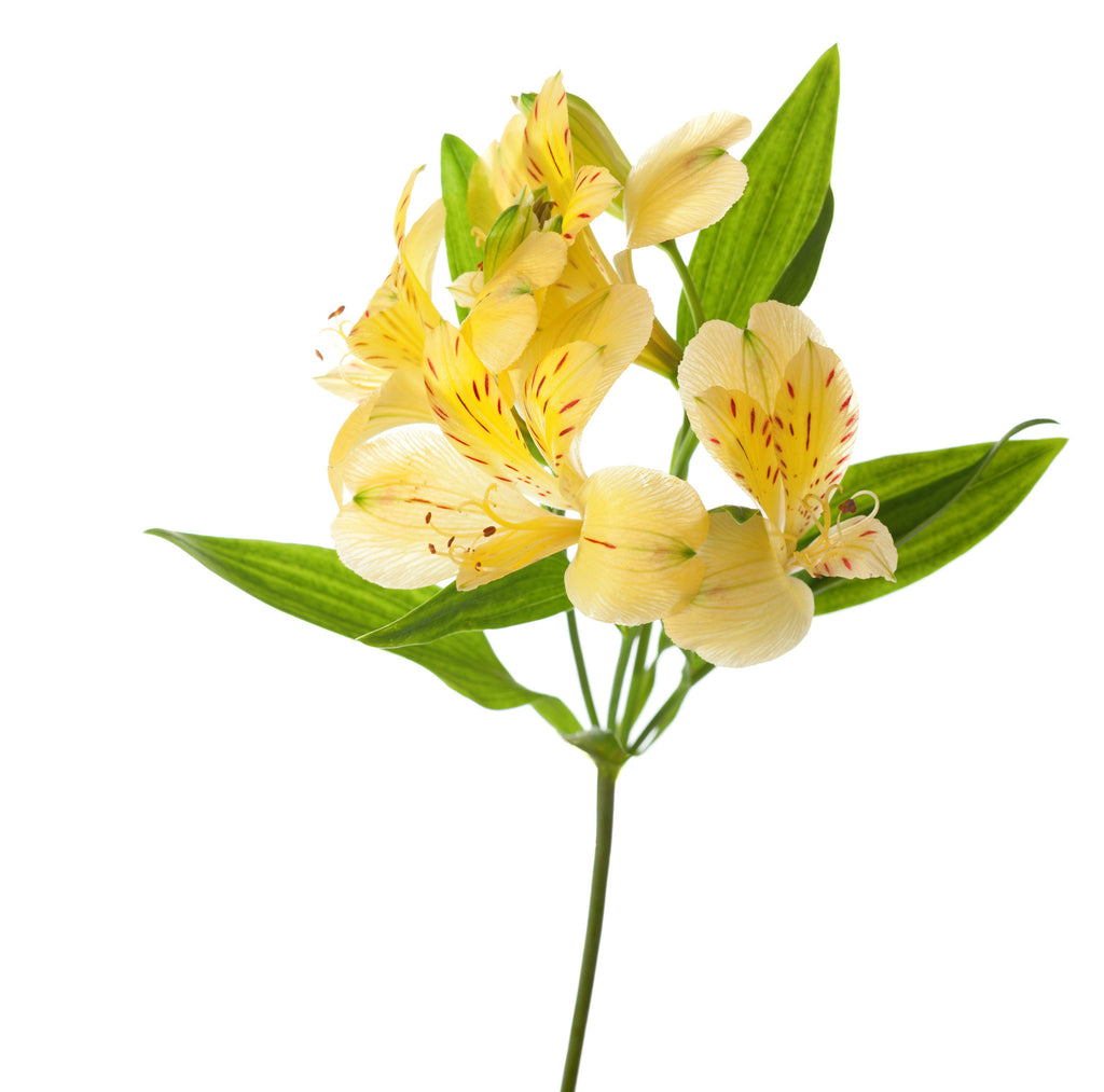 Alstroemeria Yellow Wholesale Alstroemerias TheFlowerExchange – TheFlower