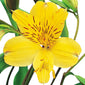 Alstroemeria Yellow - BloomsyShop.com