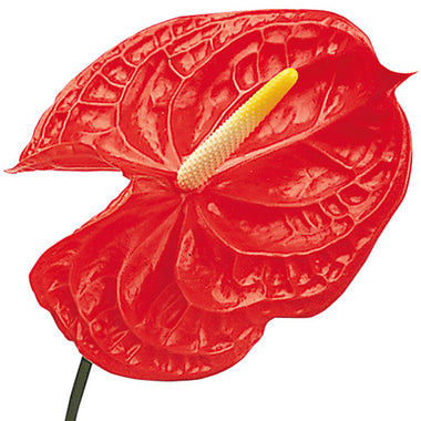 Tropical Anthurium Red