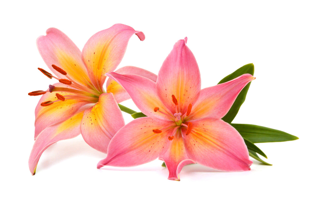 Lilies Asiatic Pink - BloomsyShop.com