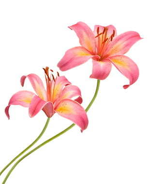 Asiatic Lilies Pink - BloomsyShop.com