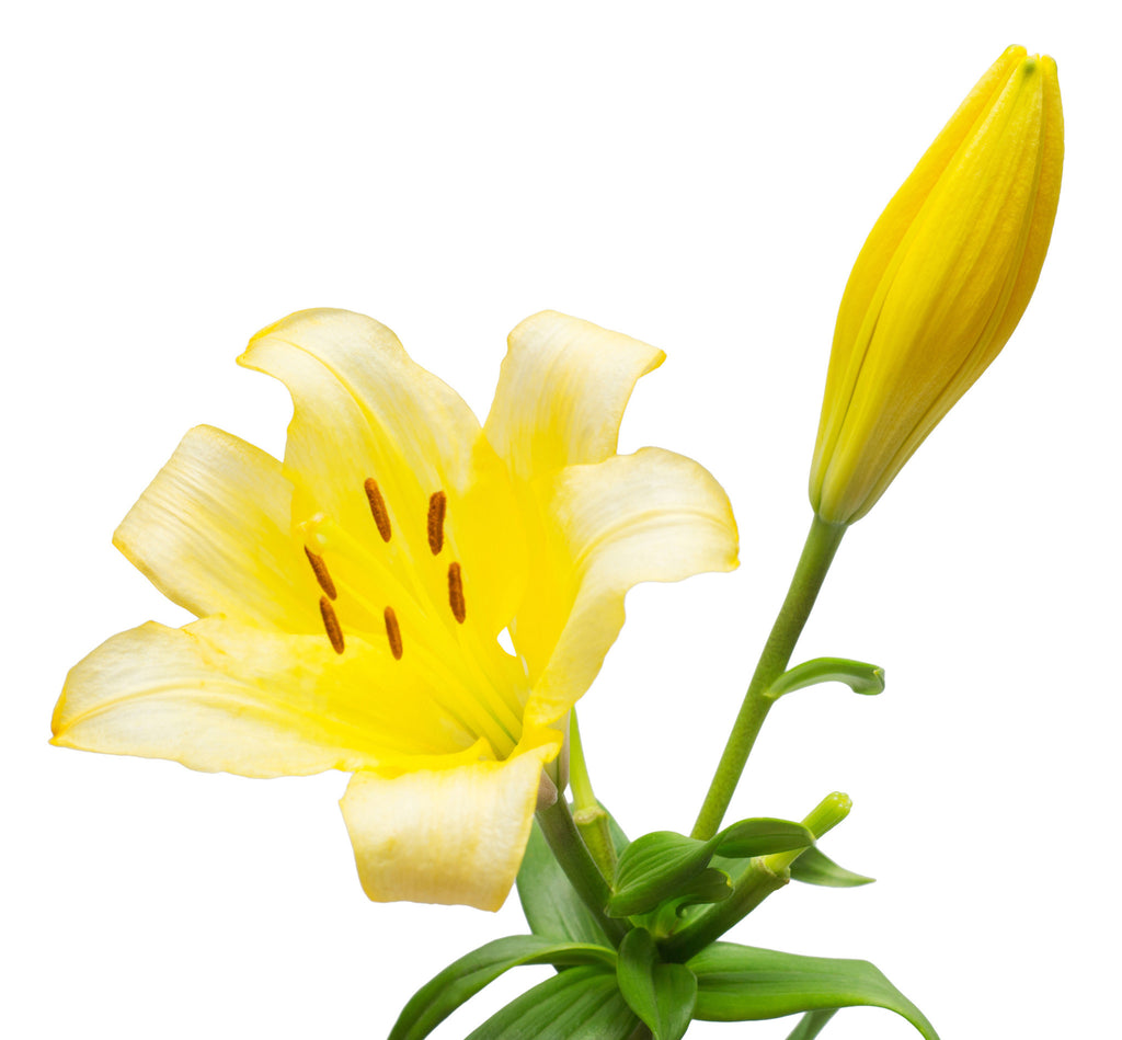 Asiatic Lilies Yellow - BloomsyShop.com