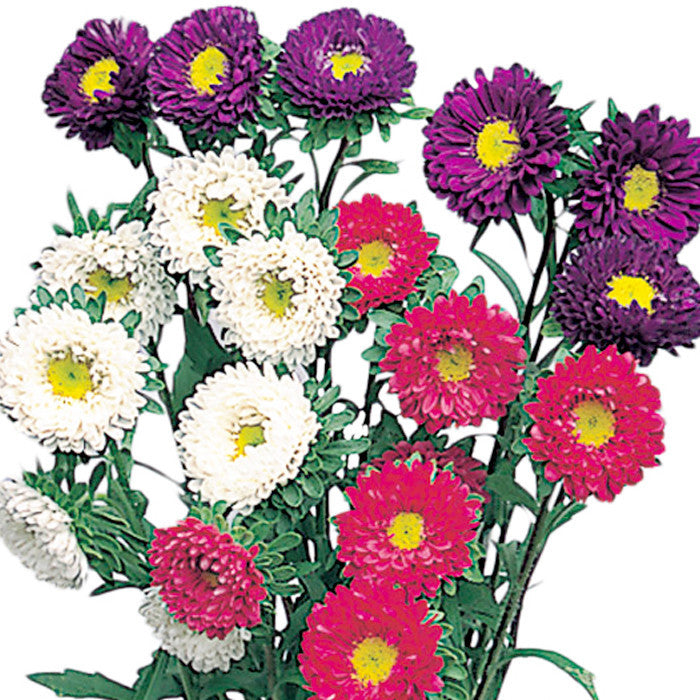 Aster Matsumoto Assorted - BloomsyShop.com