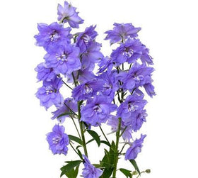 Delphinium Volkenfrieden Light Blue - BloomsyShop.com