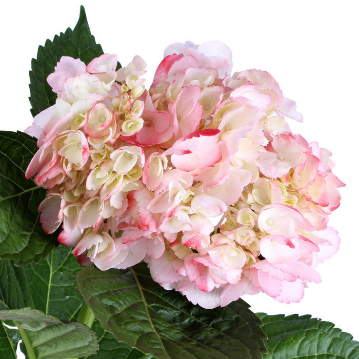 Hydrangea Airbrushed Light Pink