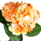 Hydrangea Airbrushed California Orange