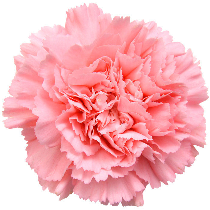 Carnations Light Pink - BloomsyShop.com