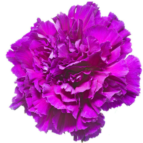 Carnations Purple - BloomsyShop.com