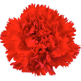 Carnations Red - BloomsyShop.com