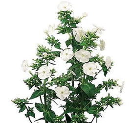 Phlox White - BloomsyShop.com