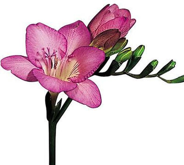 Freesias Pink - BloomsyShop.com