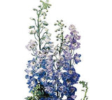 Delphinium Light Blue - BloomsyShop.com