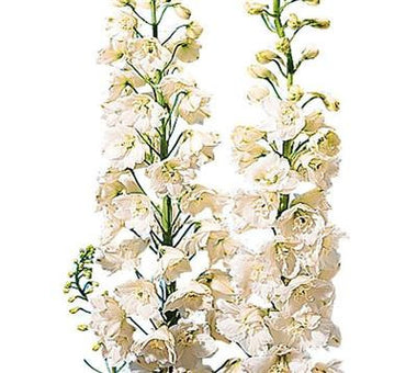 Larkspur White - BloomsyShop.com