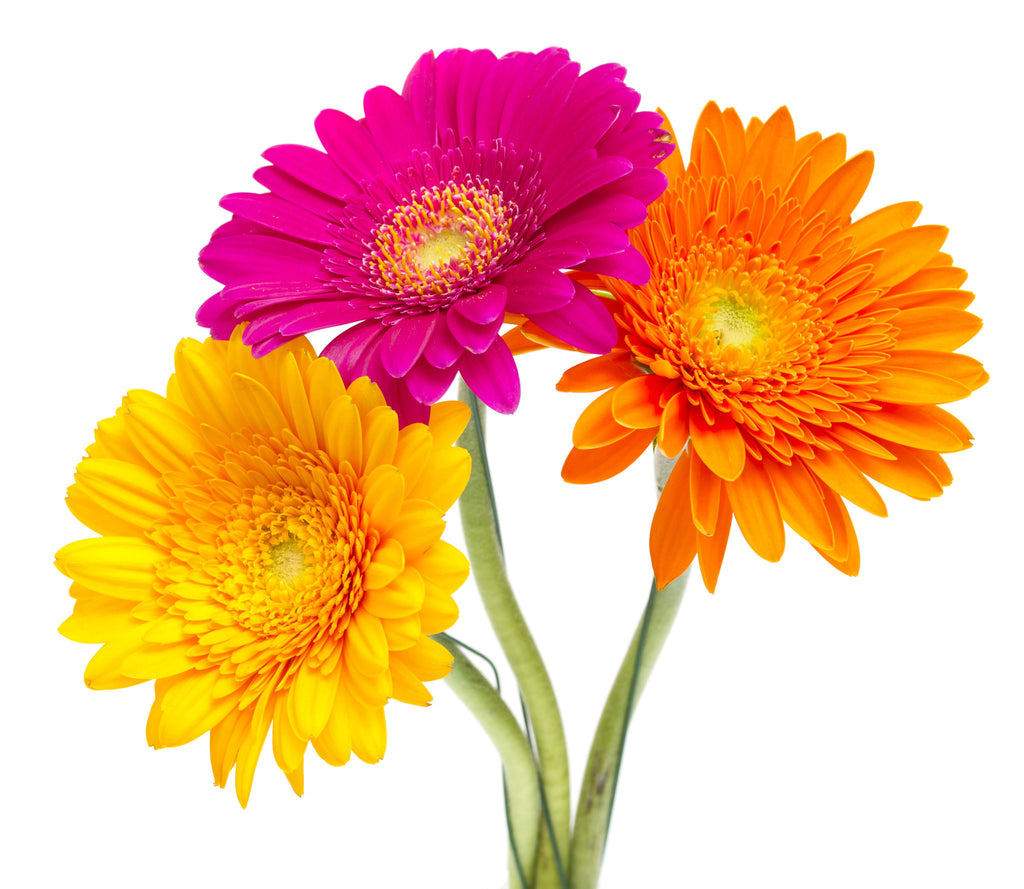 Color Daisies: Assorted Colors Gerbera Daisy