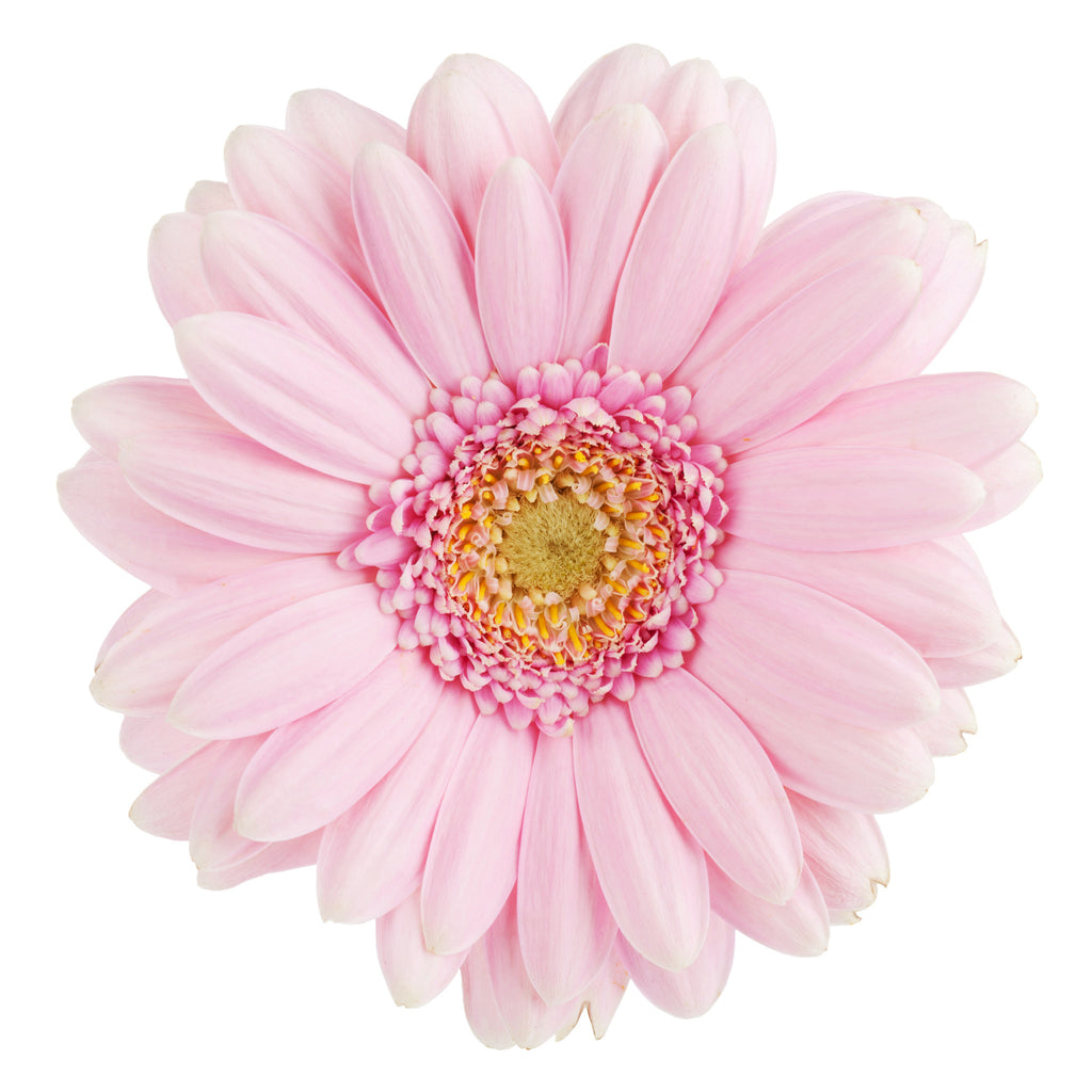 Gerberas Light Pink - BloomsyShop.com