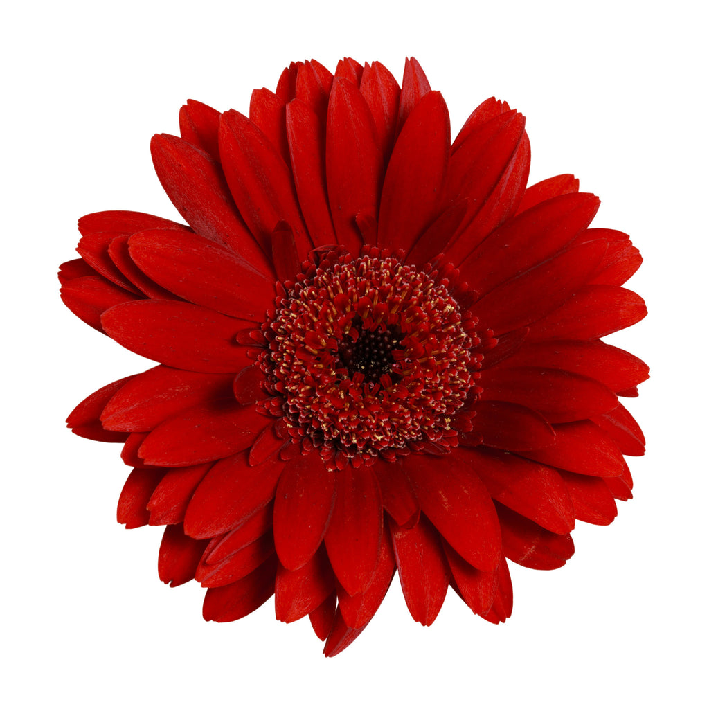 Red Gerbera Daisy - BloomsyShop.com
