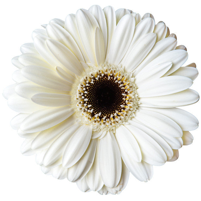 Gerberas White - BloomsyShop.com