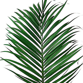 Green Areca Palm - BloomsyShop.com