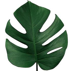 Green Monstera - BloomsyShop.com