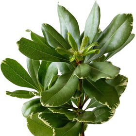 Green Pittosporum Varigated - BloomsyShop.com