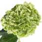 Hydrangeas Green Kiwi - BloomsyShop.com