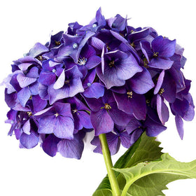 Hydrangeas Purple Select - BloomsyShop.com